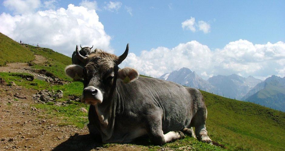 Colpo di scena: la zootecnia italiana non è causa di inquinamento da nitrati.